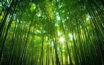Trà và tre hai loài cây gắn liền với cuộc sống và văn hóa Việt Nam